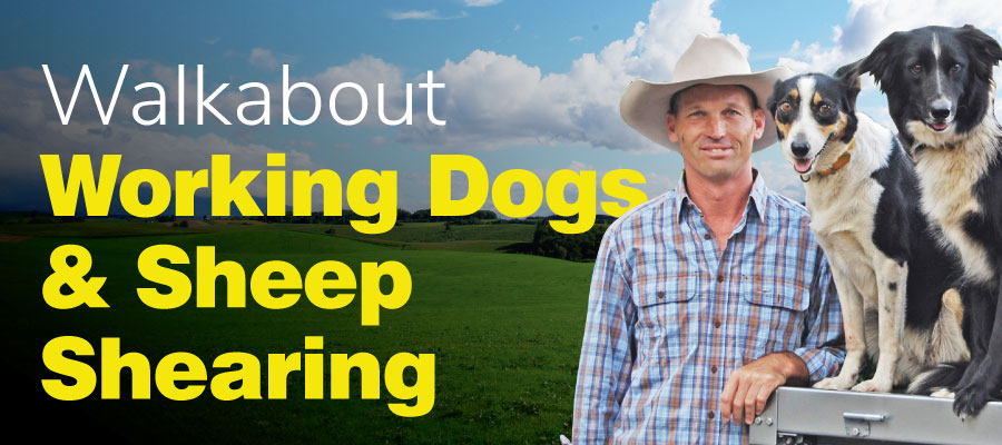 Working Dogs and Sheep Shearing Demonstrations